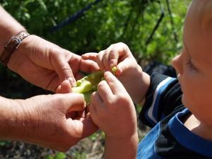 Sharing some fresh peas
